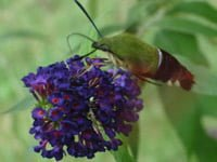 Hummingbird moth on flower