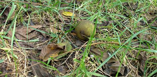 Black walnuts on ground under tree