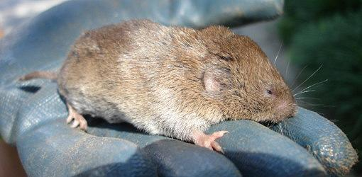 Vole held in gloved hand