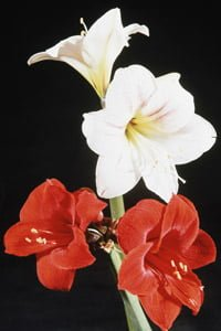 Red and white amaryllis in bloom