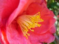 Red camellia blossom