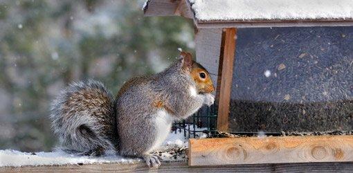 Squirrel eating a feeder