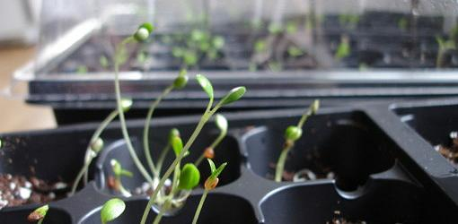 Seedlings sprouting in container
