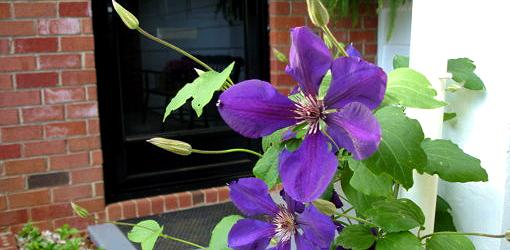 Blue clematis flower blooming