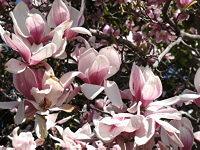 Saucer Magnolia (Tulip Tree) blooming