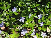 Vinca (Periwinkle) blooming