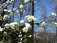 Bridal Wreath Spiraea blooming