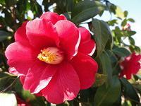 Camellia Japonica bloom