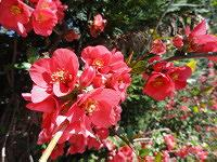 Flowering Quince blooming