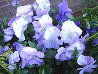 Viola blooming