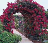 Rose arbor over path