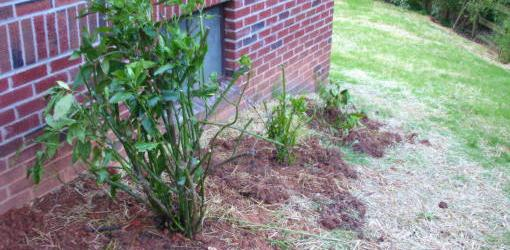 Divided aucuba bush replanted in yard.