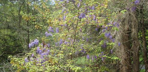 Wild wisteria climbing up trees