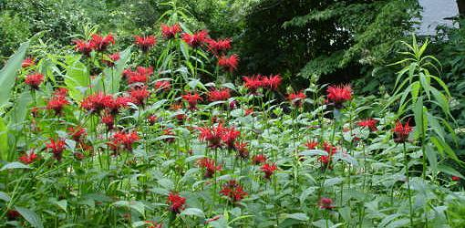 Red flowers on bee balm herb plants