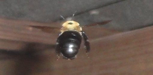 Carpenter bee flying