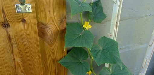 Large leaves of cucumber vine with yellow vine with small yellow flower