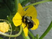 Bee pollinating cucumber flower