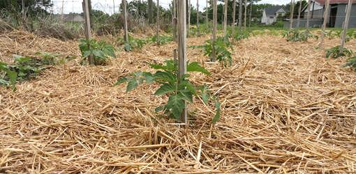Tomato plants surrounded by straw mulch