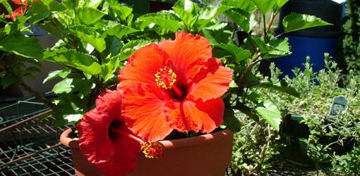 Red hibiscus flowers