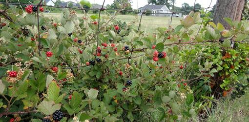 Farm fence covered in blackberries