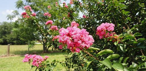 Pink crape myrtle blooms in summer