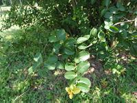 Crape myrtle without blooms in shade