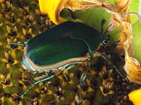 Adult green June beetle