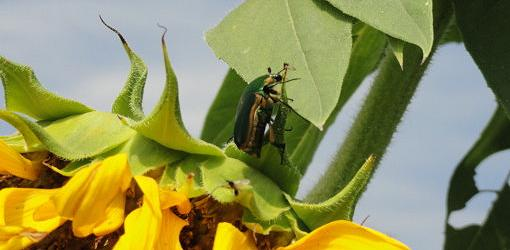 Green June beetle on sunflower