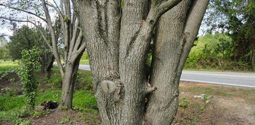 Trunk of Bradford pear tree