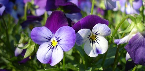 Pansy flowers blooming