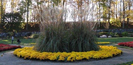 Giant pampas grass at Biltmore Gardens.