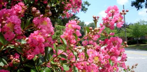Crape myrtle bush blooming