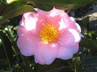 Camellia Sasanqua, 'Winter's Fancy'