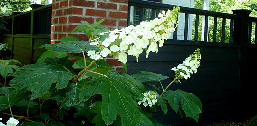 White blooms on oakleaf hydrangea.
