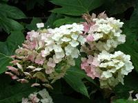 Oakleaf blossoms turning pink.