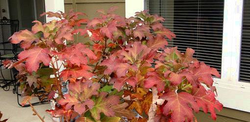 Red fall foliage on oakleaf hydrangea.