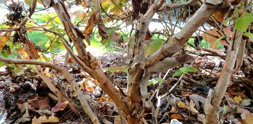 Peeling bark on oakleaf hydrangea