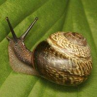 Snail on leaf.