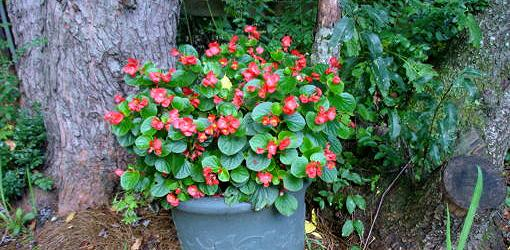 Blooming, fibrous-rooted begonia in pot.