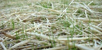 Grass seedlings poking up through straw mulch.