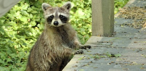How to Protect Your Home from Raccoon Damage | Today's Homeowner Raccoon Under Mobile Home on retirement home, websites for iowa modular home, sheetrock installation home,