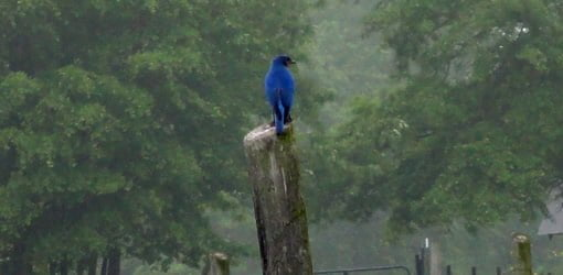 Bluebird keeping watch on a fence post in the evening.