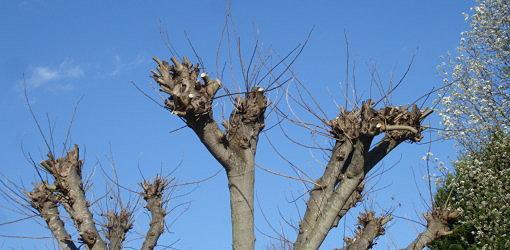 Heavily pruned crape myrtle.