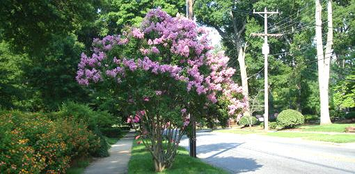 Small shrub sized variety of crape myrtle.