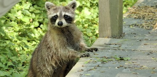 Raccoon climbing up on porch.