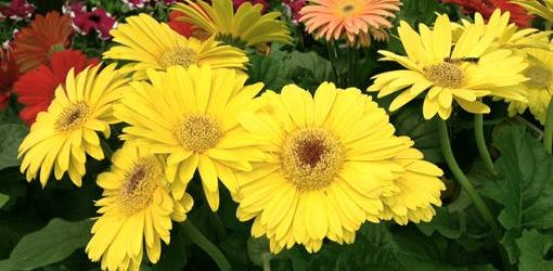 How To Grow Gerbera Daisies From Seed Today S Homeowner