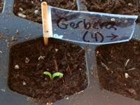 Gerbera daisy seedling.