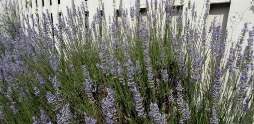 Purple flowering lavender growing along white picket fence.