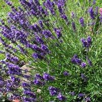 Purple flowering lavender plants.