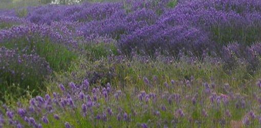 Field of purple lavender flowers.